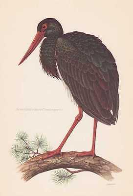 Schwarzstorch Ciconia nigra Farbdruck von 1953 Vogelkunde Ornithologie