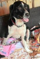 "Adult Female Dog - Beagle-Spaniel: ""Molly"""