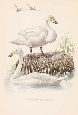 Singschwan Cygnus cygnus Farbdruck von 1953 Wilder Schwan Ornithologie