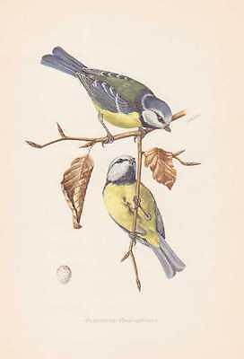 Blaumeise Parus caeruleus Farbdruck von 1953 Mehlmeise Ornithologie