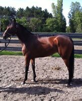 Thoroughbred gelding. 1000$