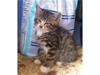 Kittens for Sale, beautiful tabby & black/white.