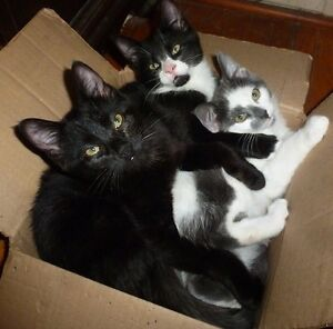 KITTENS / Kitties male/female All Black & white/grey patches