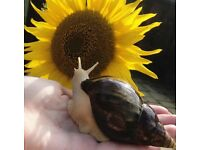 Giant African land snails