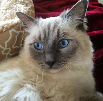 WANTED: RAGDOLL/BIRMAN KITTEN!! Arndell Park Blacktown Area Preview