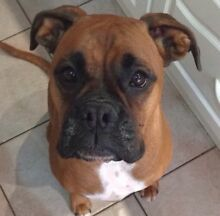 *WANTED* PUREBRED Boxer dog/puppy Gawler Area Preview