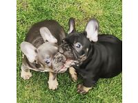 French Bulldog babies off Health Tested parents, available MARCH 2018
