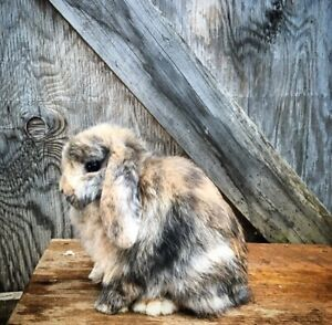 Holland Lops available