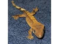 Crested Gecko juveniles