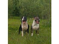 Champion English bull terrier puppies