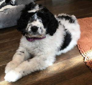 Only 3 left Newfypoo, Newfie doodle newfie/Poodle cross puppies