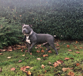 💕ABKC American pocket bully puppy 7 months