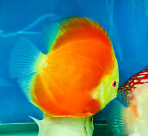 Now only 4 Discus left size 5.5-6 inches