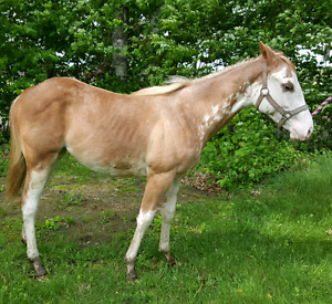 Registered paint filly