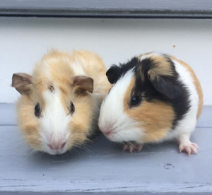 2 female guinea pigs need a new loving home! {includes cage}