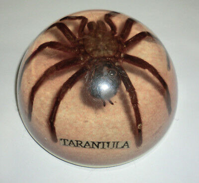 Very Old Vintage Resin ? Paperweight Tarantula Large Doomed Preserved Specimen