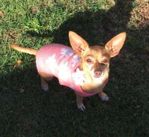 Lost Chiweenie in Vancouver BC
