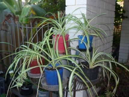 Ribbon/Spider Plant (indoor/outdoor)