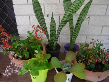 Succulent - Cactus ($5-$8 each) Alexander Heights Wanneroo Area Preview