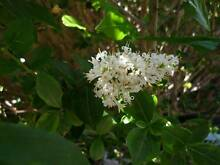 "Screening Shrub – ""Privet – Golden Vicary"" ($30- $45) Alexander Heights Wanneroo Area Preview"