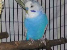 $10 Cheap Cute Adult Budgie Ready for Breeding Westmead Parramatta Area Preview