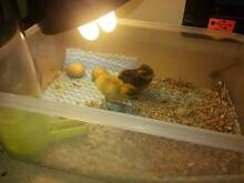 2 King Quail Chicks Needs Good Home with 3 Litres Food Westmead Parramatta Area Preview
