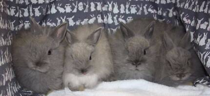 Jersey Wooly  baby rabbits for sale
