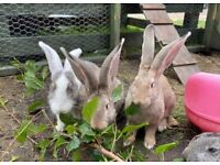 Vaccinated Giant Continental Rabbits