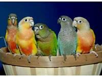 ᴄᴏɴᴜʀᴇꜱ ɢʀᴇᴇɴᴄʜᴇᴇᴋ ᴛʜᴀᴛ ᴀʀᴇ ɢʀᴇᴀᴛ ᴀᴛ ʟᴇᴀʀɴɪɴɢ ᴛᴏ ᴛᴀʟᴋ ᴄᴀɢᴇ ᴄᴀɴ ᴅᴇʟɪᴠᴇʀ(ɴᴏᴛ budgies)birds