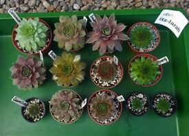 Sempervivum x13 - 10 Named Varieties. ~ Available To Buy On ebay/Delivery. Read Description
