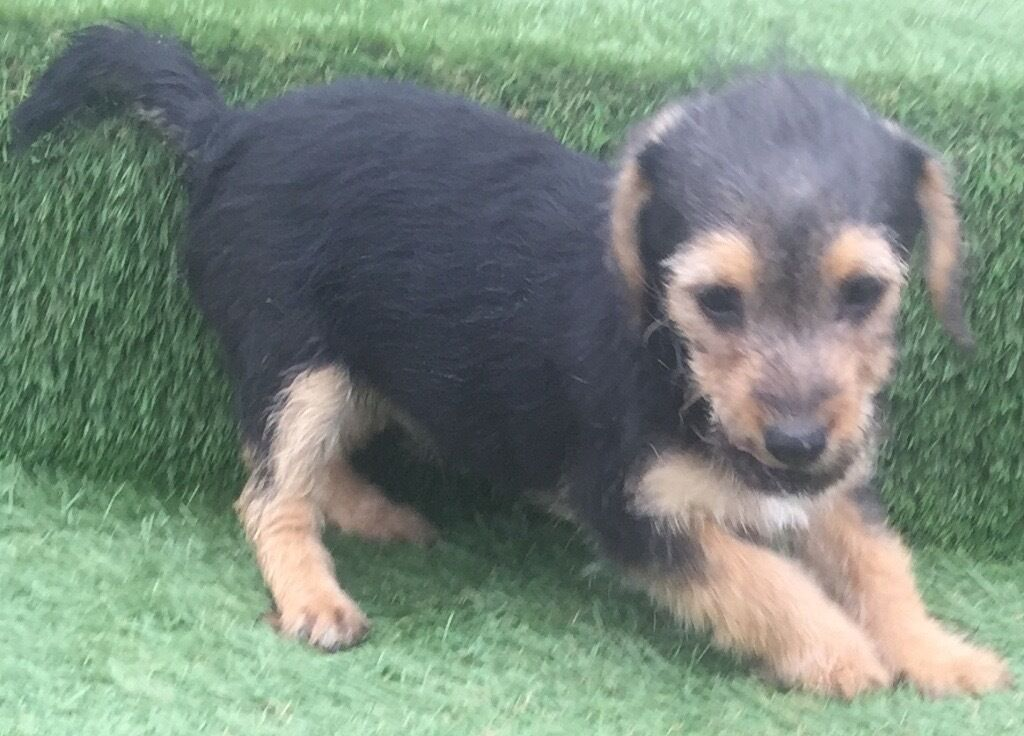 Jackapoo Puppy S In Ingatestone Essex Gumtree