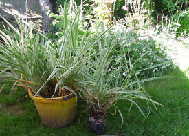 Pond Plants , Pond Grass Variegated Leaves, 4 available, Pond Ready, £5 each