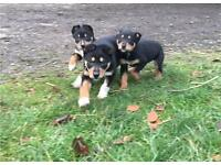 Border collie x kelpie pups!