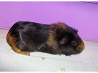 4 month old guinea pig looking for a loving home
