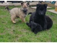 REDUCED!!!!! Belgium x German shepherd puppies