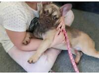 Kc registered female French bulldog chocolate sable carrying blue and tan