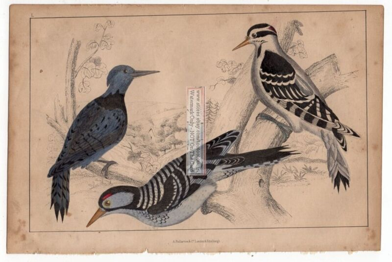 Woodpeckers Black Breasted  Hairy Red Cockaded -c1860 Hand Colored Bird Print