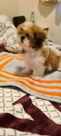 Pedigree shitzu puppies