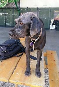 "Young Female Dog - Wirehaired Terrier-Terrier: ""Lucy (Loki)"""