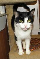 "Adult Male Cat - Domestic Short Hair: ""Phoenix"""