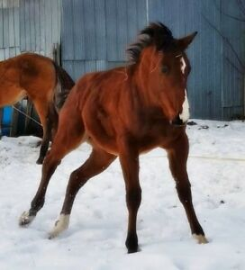 big 2018 registered colt