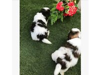 Beautiful black and white Shih Tzu girl puppy for sale!!!