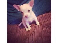 9 week old female chihuahua for sale