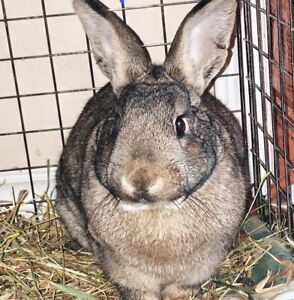 Neutered Male American Standard Rabbit for Adoption - Thumper