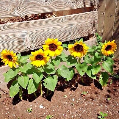 40+SUNSPOT DWARF SUNFLOWER Seeds Native Wildflower Butterflies Garden/Containers