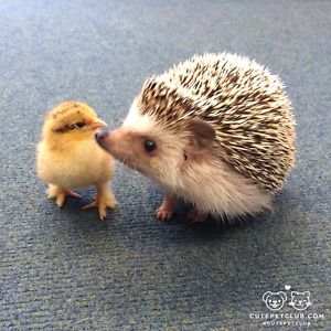 Looking for hedgehog male or female