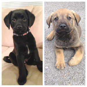 Lab/shepard crosses for sale puppies