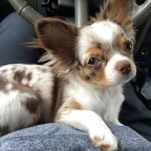 WANTED: Chihuahua puppy Ringwood Maroondah Area Preview
