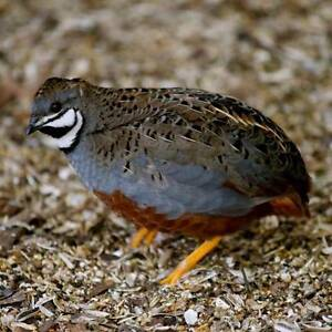King quails for sale or swap Camperdown Inner Sydney Preview