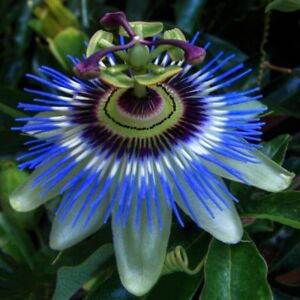 PASSIFLORA CAERULEA 'PASSION FLOWER' CLIMBING PLANT IN 2 LT POT, FAST CLIMBER